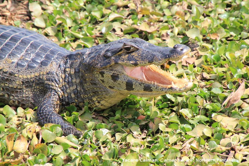 Jacaré-do-Pantanal